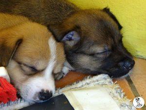 Boukje pups 5 weken klein (12)