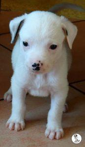 Boukje pups 5 weken klein (14)