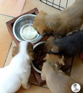 Boukje pups 5 weken klein (16)