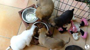 Boukje pups 5 weken klein (18)