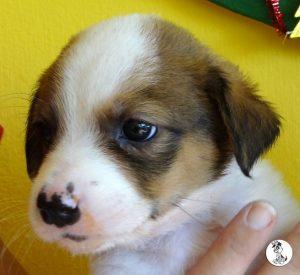 Boukje pups 5 weken klein (2)