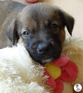 Boukje pups 5 weken klein (20)