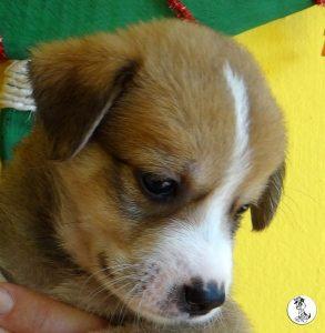 Boukje pups 5 weken klein (24)