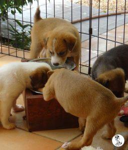Boukje pups 5 weken klein (27)