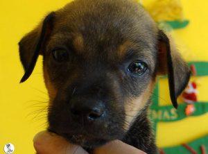 Boukje pups 5 weken klein (28)