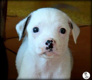 Boukje pups 5 weken klein (29)