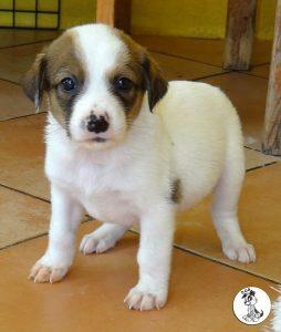 Boukje pups 5 weken klein (30)