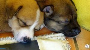 Boukje pups 5 weken klein (38)
