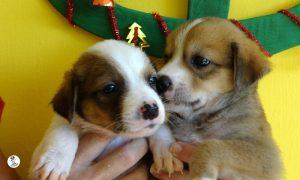 Boukje pups 5 weken klein (4)