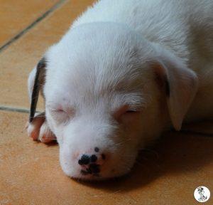 Boukje pups 5 weken klein (7)